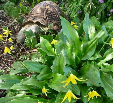 ard daraich erythronium and tortoise