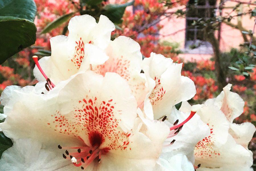Ard Daraich -Rhododendron