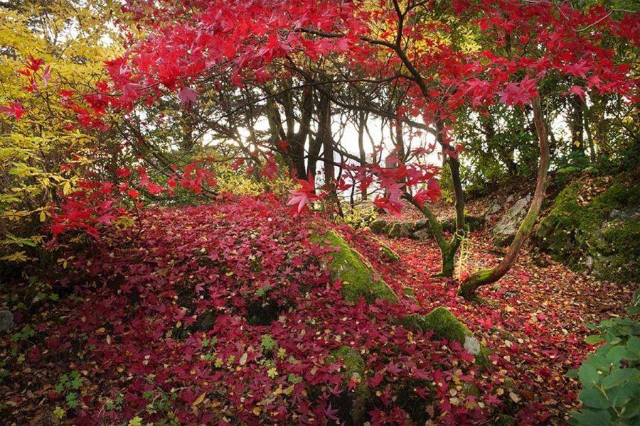 Ard Daraich - Garden - Red Acer