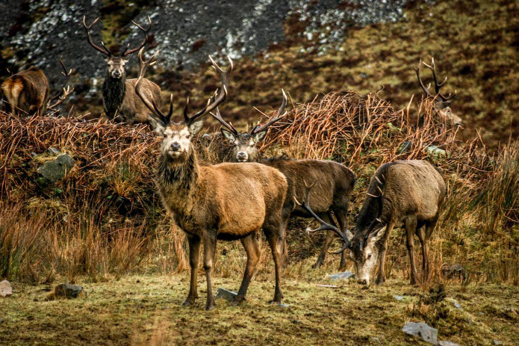 ard daraich highlands stags