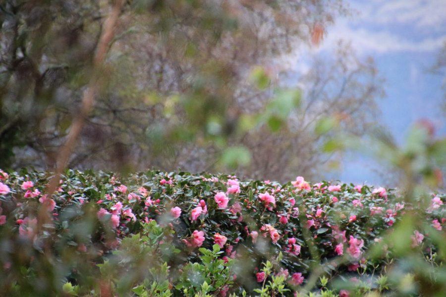 Ard Daraich - Garden - Camelia Hedge