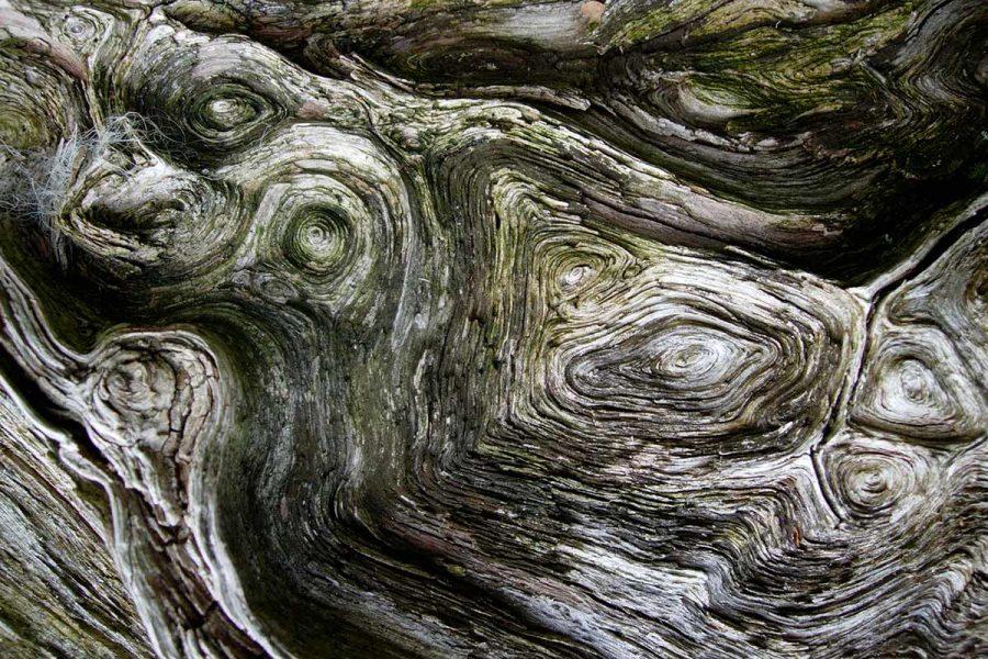 Ard Daraich - Oak Tree